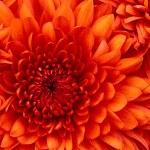 Chrysanthemum-150x150.jpg