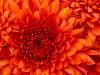 Chrysanthemum2-100x75.jpg