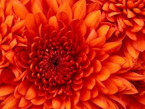 Chrysanthemum-300x225.jpg