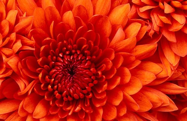 Chrysanthemum2-1024x662.jpg