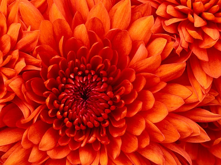 Chrysanthemum2-1024x768.jpg